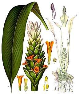 260px-Curcuma_longa_-_Köhler–s_Medizinal-Pflanzen-199