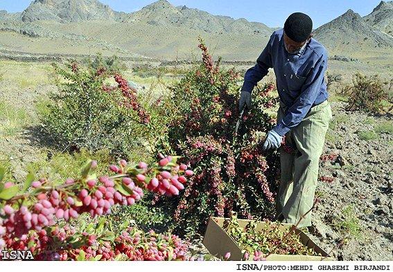 harvesting-zereshk-in-birjand3