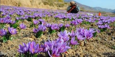 saffron-harvest
